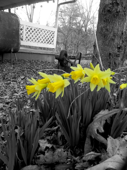 first daffodils instagrammed