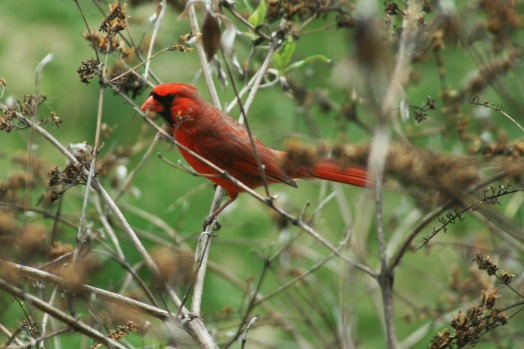 cardinal in the butterfly bush